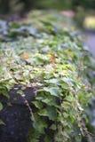 Japanese Ivy Royalty Free Stock Photo