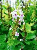 Japanese Jasmine flower. Leaf, white royalty free stock images