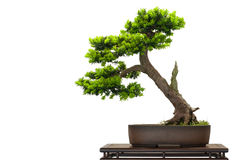 Japanese jew as bonsai tree Royalty Free Stock Photo