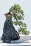 Japanese Juniper Bonzai Stock Image