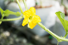 Japanese Kimochi sweet melon's female flower. Royalty Free Stock Images