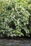Japanese Knotweed. Fallopia japonica Stock Image
