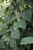 Japanese Knotweed Royalty Free Stock Photos