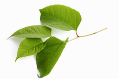 Japanese knotweed, Fallopia japonica Royalty Free Stock Image