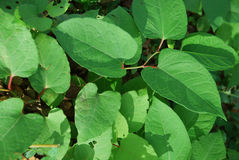 Japanese knotweed widespread Stock Photos