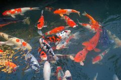 Japanese Koi. Various color of japanese carps swimming in the pond Royalty Free Stock Images