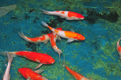 Japanese Koi, Carp Stock Photo