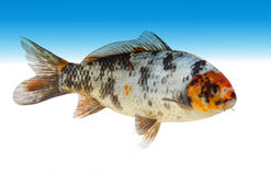Japanese koi carp Royalty Free Stock Images