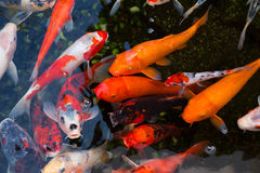Japanese koi carp. Bright colorful fish among the Japanese are considered a symbol of happiness and a sign of high status of the owner. Japanese koi fish bring Royalty Free Stock Photo