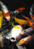 Japanese Koi/carp fish. A group of Koi fish in a feeding frenzy Royalty Free Stock Photography