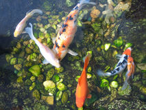 Japanese Koi Carp fishes Royalty Free Stock Photo