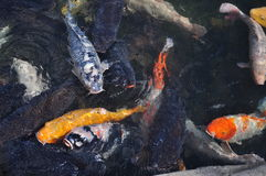 Japanese koi carp fish in a temple pond Stock Photography