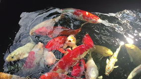 Japanese Koi, Fancy Carp are swimming stock footage