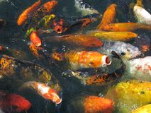Japanese Koi in Feeding Frenzy. Multi-colored members of carp fish family eagerly come to surface of pond and break water in search of food Stock Image