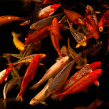 Japanese koi fish. A group (school) of Japanese koi fish in a pond Stock Photography