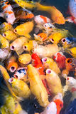 Japanese Koi Fish. Japanese Koi feeding frenzy in a pond Stock Photos