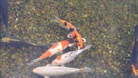 Japanese Koi fish in a pond stock footage