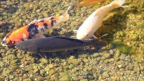 Japanese Koi fish stock footage