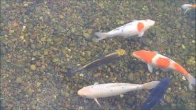 Japanese Koi fish stock video footage