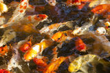 Japanese koi fishes Stock Photo