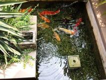 Japanese koi Stock Images