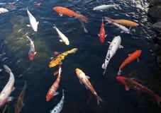 Japanese koi in pond royalty free stock photos