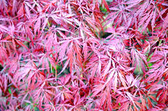 Japanese laceleaf red maple Stock Images
