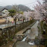A Japanese lantern and a beautiful sakura blossom a tree. Royalty Free Stock Image