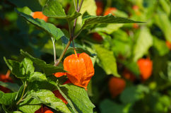 Japanese lantern plant Royalty Free Stock Images