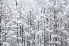 Japanese larches covered with snow Royalty Free Stock Image