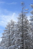 Japanese larches covered with snow Stock Photography