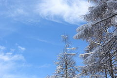 Japanese larches covered with snow Stock Image