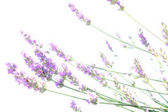 Japanese lavender abstract in white Stock Photography