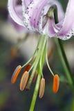 Japanese lily Stock Photos