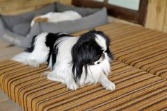 Japanese little spaniels in their little house and comfort Stock Image