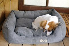 Japanese little spaniels in their little house and comfort Royalty Free Stock Images