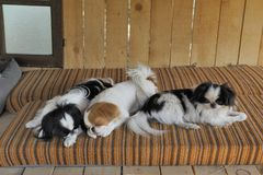 Japanese little spaniels in their little house and comfort Stock Photos