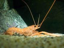 Japanese lobster. Fukuoka, Japan - apr 6, 2015 :  japanese lobster on sand ground with black background Royalty Free Stock Photo