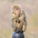 Japanese macaca Stock Images