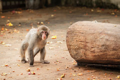 Japanese macaco Royalty Free Stock Images