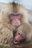 Japanese Macaque Royalty Free Stock Photography