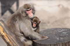 Japanese Macaque Stock Photo