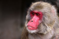 Japanese Macaque. Portrait of adult male japanese macaque - Macaca fuscata royalty free stock photography