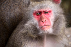 Japanese Macaque Royalty Free Stock Images