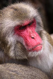 Japanese Macaque. Portrait of adult male japanese macaque - Macaca fuscata Royalty Free Stock Image