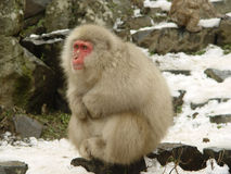 Japanese macaque. One Japanese Macaque or also known as snow monkey at Yudanaka near Nagano in Japan stock photos