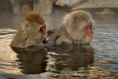 Japanese macaque. Two Japanese Macaque grooming in hot spring Royalty Free Stock Photo