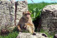 Japanese Macaque. A Japanese Macaque sitting near some rocks Royalty Free Stock Photo