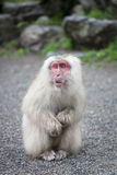 Japanese Macaque. A Japanese Macaque, with a startled expression, sits on the gravel at Jigokudani Monkey Park in Yamanouchi, Nagano, Japan Stock Image
