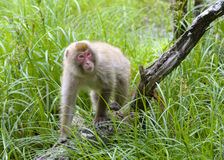 Free Japanese Macaque Stock Photo - 32266360